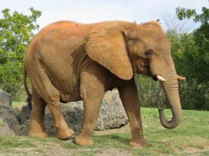 gestazione elefante africano